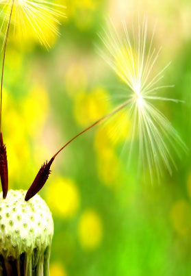 A dandelion seed about to fly away