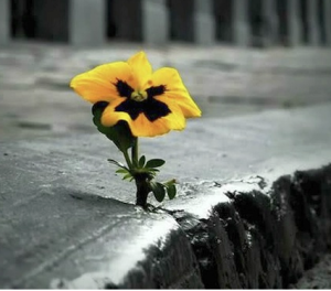 Pansy grows from concrete